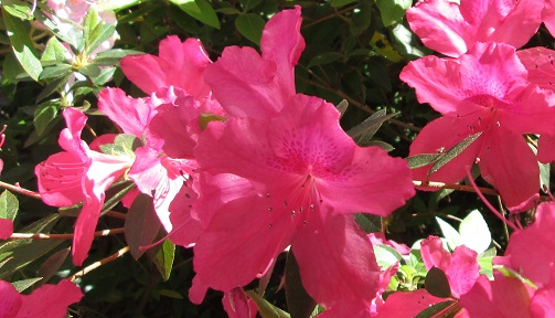 azaleas in the coastal North Carolina area