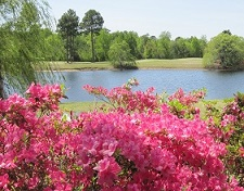 azaleas at Magnolia Greens Leland NC