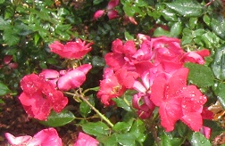 image of roses in Brunswick County NC