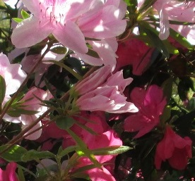 Azaleas Coastal North Carolina